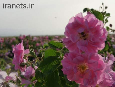 گلابگیری کاشان باغ گل محمدی کاشان